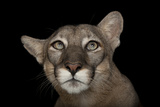 An Endangered Florida Panther, Puma Concolor Coryi, at Tampa's Lowry Park Zoo. Fotografisk tryk af Joel Sartore
