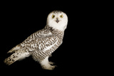 A Young Female Snowy Owl, Bubo Scandiacus, at Raptor Recovery Nebraska. Fotografisk tryk af Joel Sartore