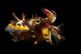 A Pfeffer's Flamboyant Cuttlefish, Metasepia Pfefferi, at the Dallas World Aquarium. Photographic Print by Joel Sartore