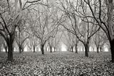 Tree Grove Pano BW I Photographic Print by Erin Berzel