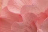 Rosy Begonia II Fotografisk tryk af Rita Crane