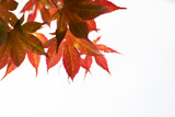Japanese Maple III Photographic Print by Beth Wold