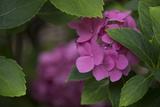 Pink Hydrangeas VI Photographic Print by Rita Crane