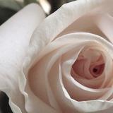 White Rose I Photographic Print by Monika Burkhart