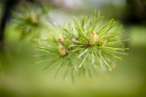 Pine Needles III Photographic Print by Beth Wold
