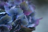Autumn Hydrangea III Photographic Print by Rita Crane