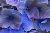 Hydrangea Blues III Photographic Print by Rita Crane