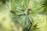 Pine Needles I Photographic Print by Beth Wold