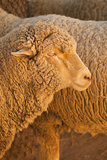 Sheep Photographic Print by Karyn Millet