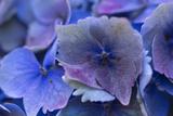Hydrangea Blue IV Photographic Print by Rita Crane
