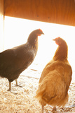 Hens Photographic Print by Karyn Millet
