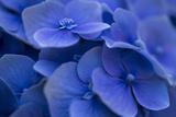 Hydrangea Blues I Photographic Print by Rita Crane