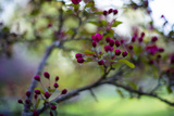 Crabapple Buds Photographic Print by Beth Wold
