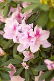 Pink Rhody I Fotodruck von Karyn Millet