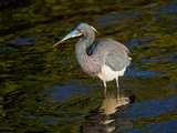 Tricolored Heron II Photographic Print by Manfred Kraus