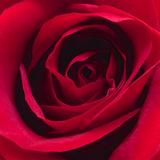 Red Rose I Photographic Print by Monika Burkhart
