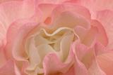 Rosy Begonia I Fotografisk tryk af Rita Crane