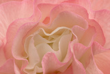Rosy Begonia I Photographic Print by Rita Crane