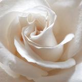White Rose II Photographic Print by Monika Burkhart