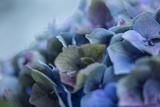 Autumn Hydrangea IV Photographic Print by Rita Crane