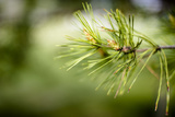 Pine Needles IV Photographic Print by Beth Wold