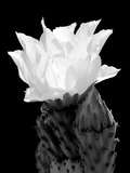 Beaver Tail Cactus Flower BW Photographic Print by Douglas Taylor