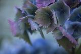 Autumn Hydrangea II Photographic Print by Rita Crane