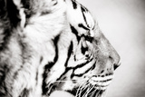 Tiger Photographic Print by Beth Wold