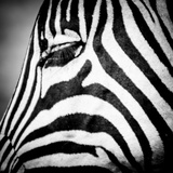 Zebra I Photographic Print by Beth Wold