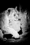 Lion Cub II Photographic Print by Beth Wold