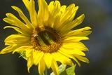Sunflower and Bee I Photographic Print by Rita Crane