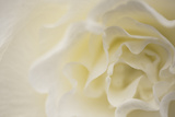 Soft White Begonia II Fotografisk tryk af Rita Crane