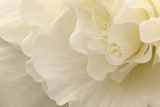 Delicate Begonia II Fotografisk tryk af Rita Crane