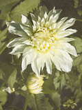 Garden Dahlias VII Photographic Print by George Johnson
