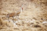 Pair of Cranes Photographic Print by Roberta Murray