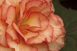 Festive Begonia I Fotografisk tryk af Rita Crane