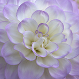 Lavender Dahlia VI Photographic Print by Rita Crane
