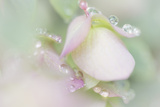 Dew Covered Oregano Photographic Print by Kathy Mahan