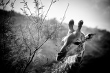 Giraffe II Photographic Print by Beth Wold