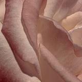 Heart of a Rose XI Photographic Print by Rita Crane