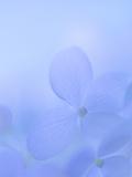Hydrangea Paniculata I Photographic Print by Kathy Mahan