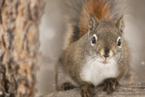 Red Squirrel Photographic Print by Roberta Murray