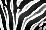 Zebra Fur II Photographic Print by Beth Wold