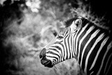 Zebra II Photographic Print by Beth Wold