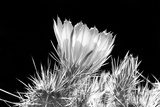 Hedgehog Cactus Flower BW Photographic Print by Douglas Taylor