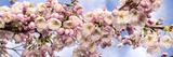 Kirsebærtræer i flor Posters af Manfred Kraus