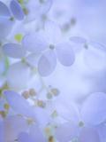 Hydrangea Paniculata II Photographic Print by Kathy Mahan