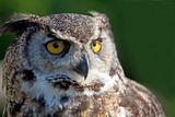 Horned Owl Photographic Print by Manfred Kraus