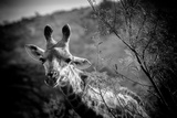 Giraffe I Photographic Print by Beth Wold