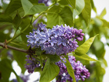 Karen's Lilac Photographic Print by George Johnson